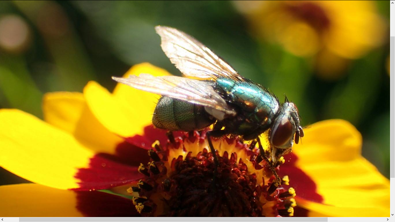 large, green fly atop the center of a Plains Coreopsis flower