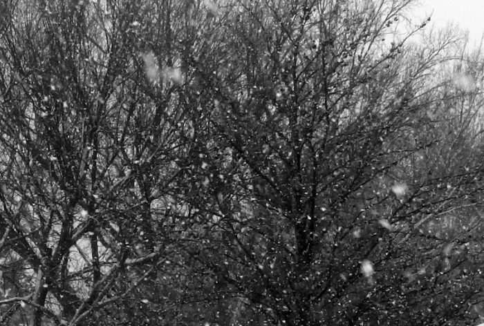 thick snowfall partly obscuring windblown tree branches