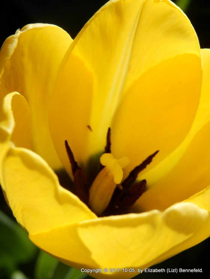 yellow tulip / hopeless love