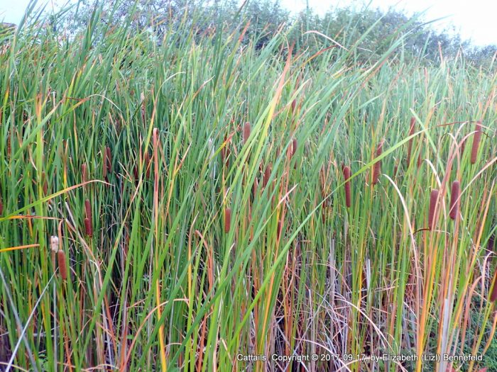 tall cattails in marshy ground