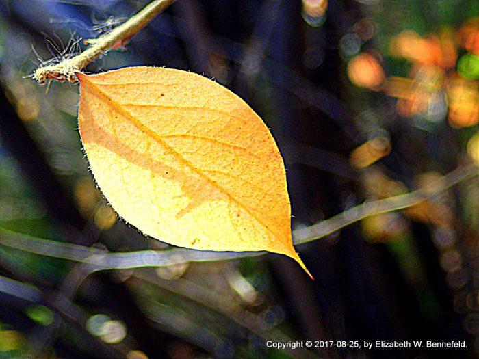 autumn leaf, cotoneaster shrub, sunlight shining through