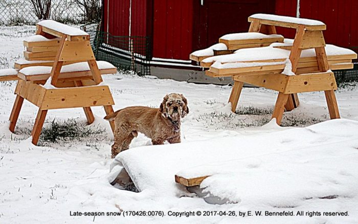 cocker spaniel playing in the newly fallen April snow