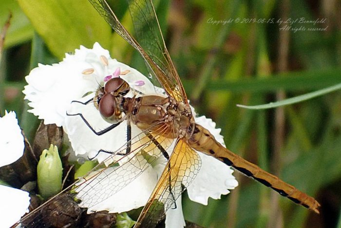 dragonfly on a Sweet William flower