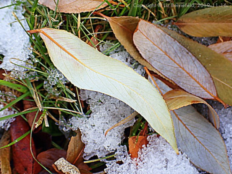 willow leaves and grass in melting November snow