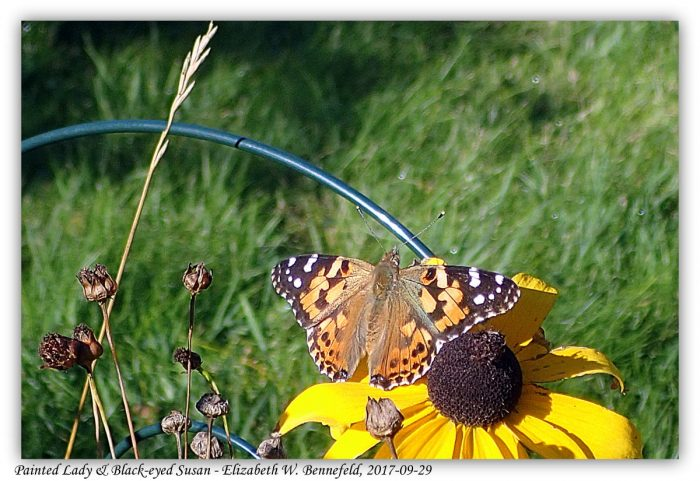 painted lady butterfly on an open black-eyed susan flowerflower