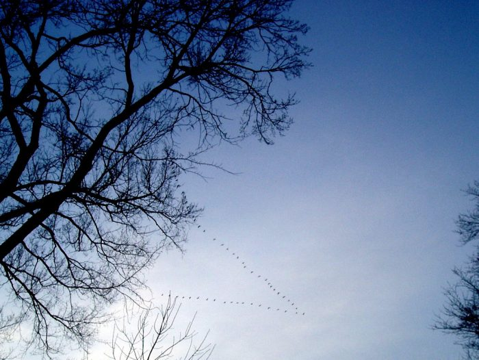 a V of geese flying high, branches in the foreground