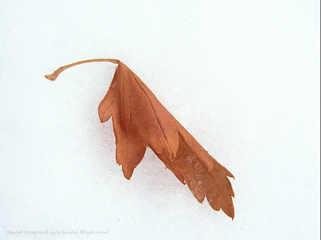 autumn leaf on winter snow accompanying two lune